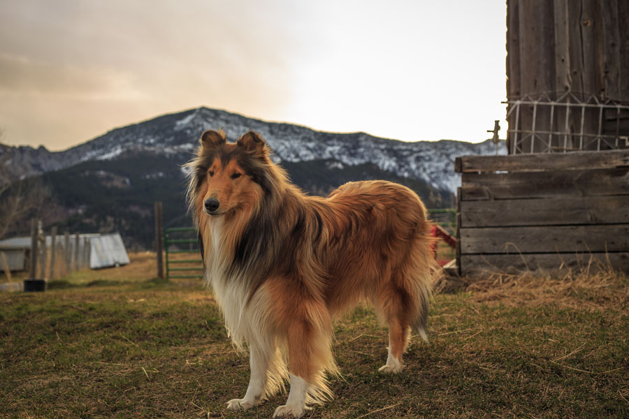 The Harjes' have four herding dogs (two Rough Collies and two Border Collies) and six livestock guardian dogs (five Maremmas—an Italian breed, and 1 Akbash, a Turkish breed).