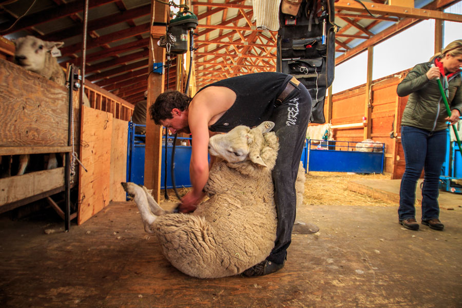 "Ryan Keyes of Livingston has been shearing for Willow Spring Ranch for the past seven years. Brent Roeder of Fort Shaw is usually the second shearer. First they shear off the head and belly wool, which goes into a scrap bin (it doesn't have good staple length—which means the length of the wool fiber). It's about 45 strokes to shear a sheep, and takes 2-3 minutes per animal.  ""They have a pattern with the clippers,"" says Katy. ""It's very fluid and is beautiful to watch."""
